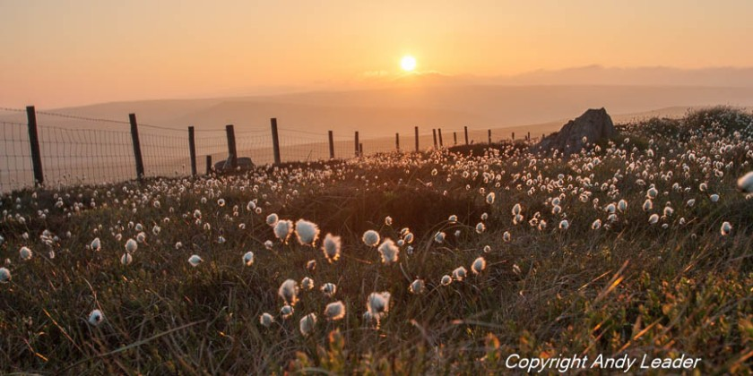 Cotton Grass (1 of 1)