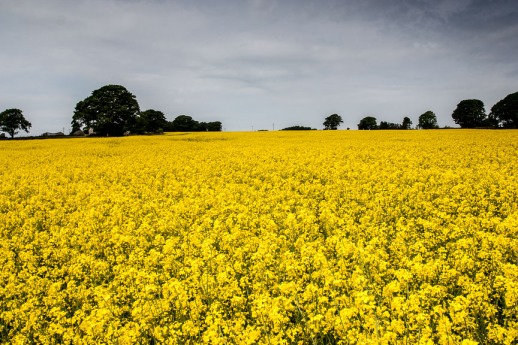 Oilseed (1 of 1)