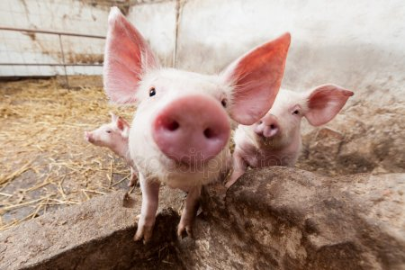 depositphotos_24143701-stock-photo-pig-farm